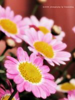Pink Daisy by bunaioding