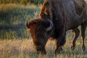 Bison at the Golden Hour by Mac-Wiz