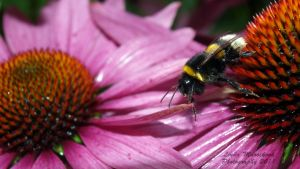 bumble-bee by LirianaPhotography