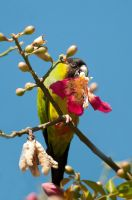 Nanday parakeet feeding on flowers by charlomer