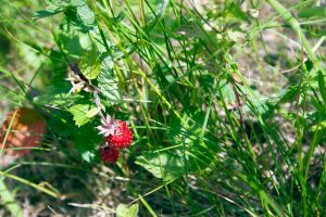 Wild strawberry and grass stock #2 by croicroga