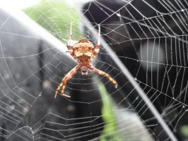 Unknown Orb Weaver by stormymay888