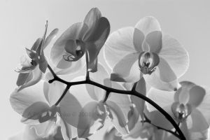 Intricate Orchids by aponom