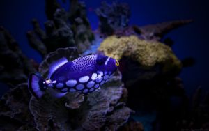 Clown Triggerfish Wallpaper by nprkr