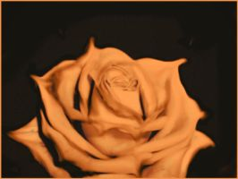 OrangE rose by andr2eea