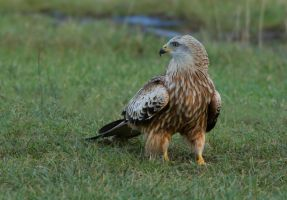 focussed - Red Kite Juvenile by Jamie-MacArthur