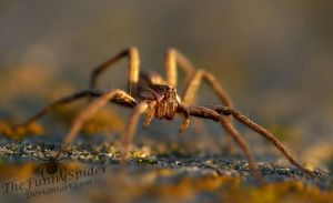 Female Nursery Web Spider in the sunset by TheFunnySpider