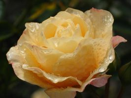 Yellow Rose 2 by WhiteSpiritWolf