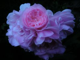 Pink Rose 2 by michawolf13