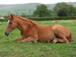 Chestnut Lying Down - 5 by EquinePhotoandStock