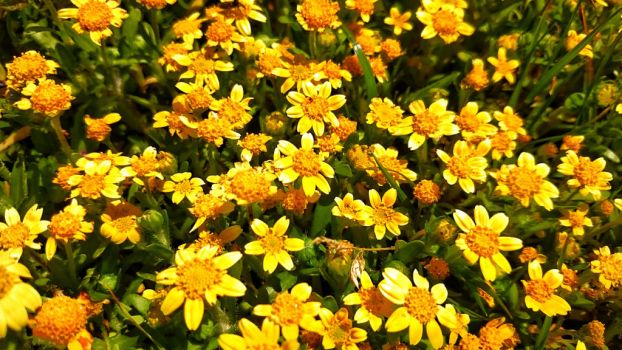 Little yellow wild flowers  by sethses1