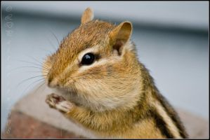 Eastern Chipmunk Closeup by sillverrfoxx