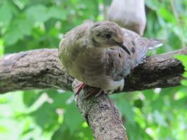 Placid Mourning Dove 1 by Windthin