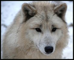 hudson wolf puppy by morho