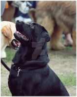 :2010: Black lab by Tollerka