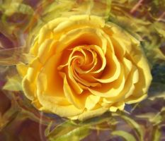 Yellow Rose by WinterFlightDesign