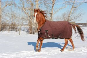 Blanketed horse running through snow 5 by eluhfunt-stock