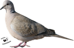 Cut-out stock PNG 23 - collared dove by Momotte2stocks