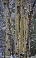 Winter Aspens HDR by mjohanson