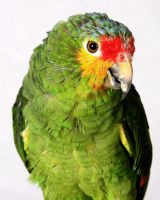 Red-Lored Amazon 8 by Xercesa