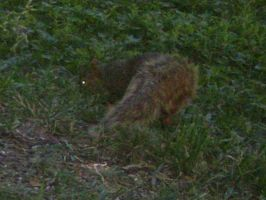 Another squirrel by Rafe15