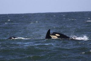 Transient Orca 04101110 by OrcinusPacifica