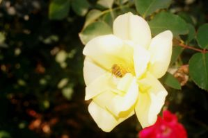 Bee On A Rose by Kelsey-Brown