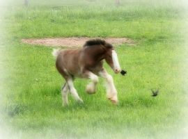 Clydesdale Foal I by LHufford
