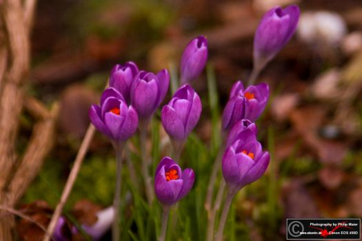 Purple by Alban0x