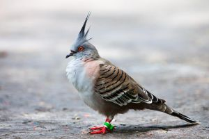 Crested Dove by secondclaw