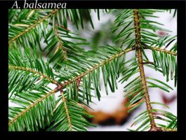 Abies balsamea by forestchild666