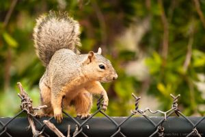 Squirrel on the fence by isotophoto