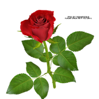 01 Rose PNG made by Nightingale by taxitoheaven