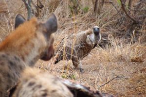 Hyena and Vulture by omegajjj