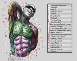 Anatomy for Sculptors 10 by anatomy4sculptors