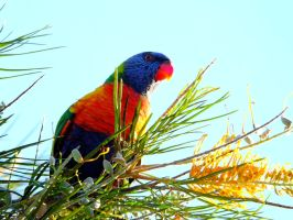Rainbow lorikeets in the backyard by AfroDitee
