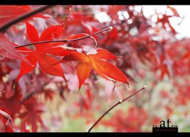red leaf by reiime