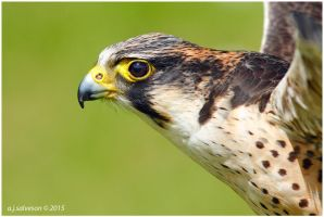 Peregrine Falcon. by andy-j-s