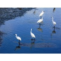 Egrets and Ripples by 13-septembre