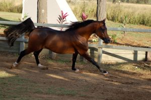 JA Arab Bay canter side on in shade by Chunga-Stock