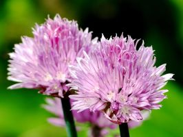 Chive Flowers by Kitteh-Pawz