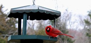 CARDINAL PHOTOGRAPHY SERIES 7 by Nat-photography