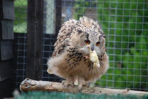 owl stock 3 by huomennastock