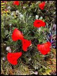 Poppies by Greyle13