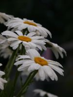English Daisies 04 by botanystock