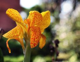 Orange iris 1 by FrancescaDelfino