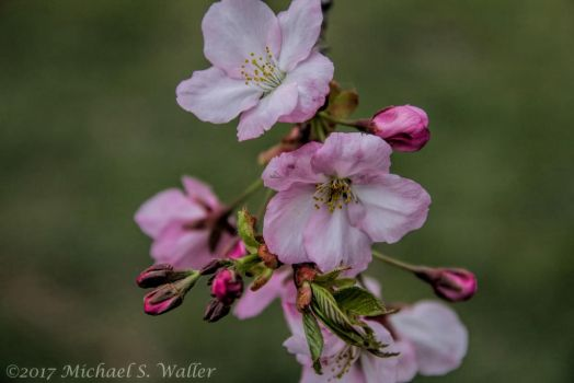 the.synthetic.awakening - Cherry Blossoms 2 by thsyntheticawakening
