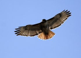 Another Red Tail Hawk photo by sgt-slaughter
