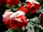 Snowy roses by MEW0