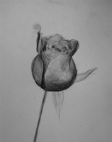Quick Study of a Rose by mannicken